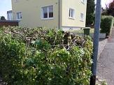 Hainbuchenhecke auf einer Grundstücksgrenze, die während der Vogelbrutzeit stark zurückgeschnitten wurde.©Universitätsstadt Marburg