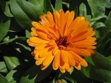 Sommerblume Ringelblume©Universitätsstadt Marburg, FD Stadtgrün, Celia Meggers